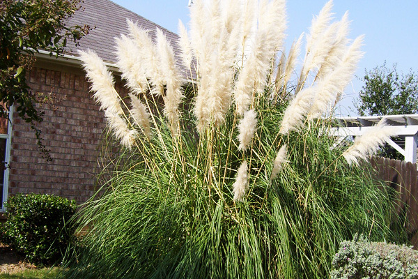 Ornamental grass for Ornamental lawn grass