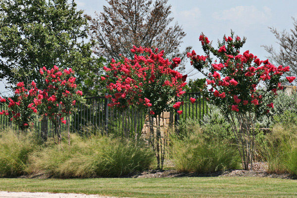 Landscaping Ornamental Trees : Ornamental tree